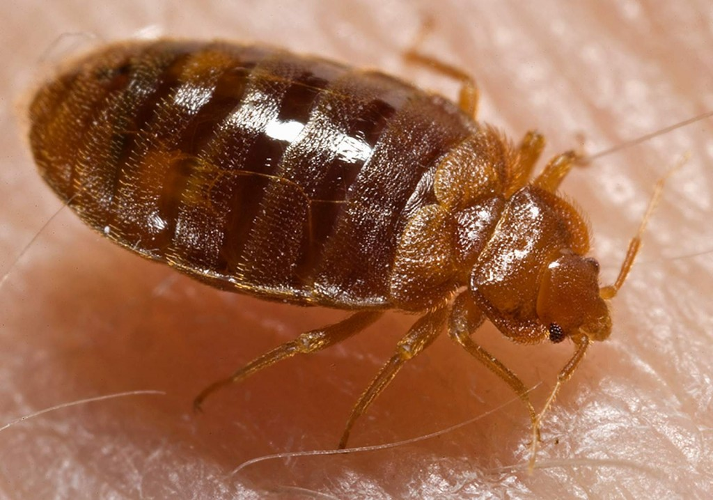 بق الفراشBed_bug,_Cimex_lectularius