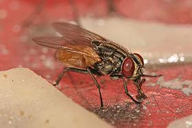 musca_domestica_housefly