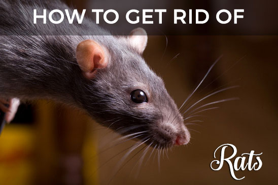cover-rats